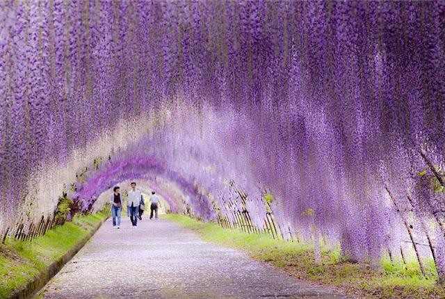 O túnel de glicínias em flor