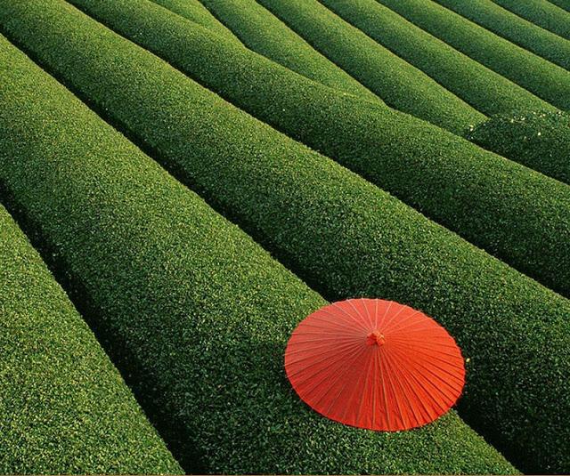 Os campos de chá, China