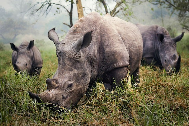 White Rhinos. Photo and caption by Stefane Berube.