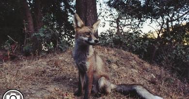 Fox de Filipe de Morais