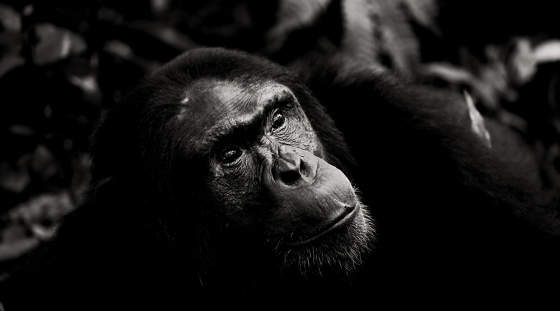The Ugandan gorillas and chimpanzees