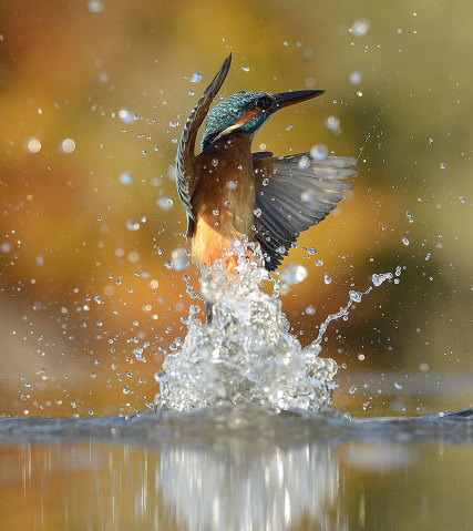 perfect-kingfisher-dive-photo-wildlife-photography-alan-mcfayden-22-427x479
