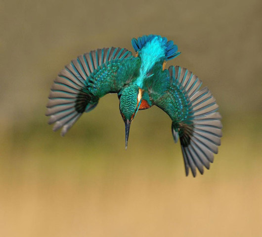 perfect-kingfisher-dive-photo-wildlife-photography-alan-mcfayden-30-530x479