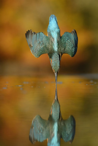 perfect-kingfisher-dive-photo-wildlife-photography-alan-mcfayden-311-322x479