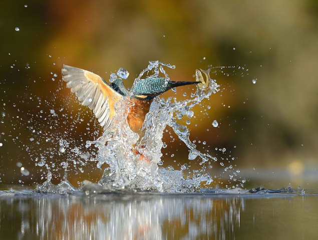 perfect-kingfisher-dive-photo-wildlife-photography-alan-mcfayden-33-635x479