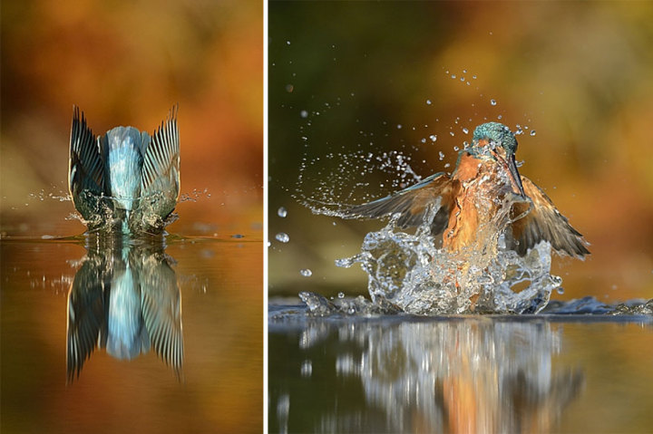 perfect-kingfisher-dive-photo-wildlife-photography-alan-mcfayden-35-720x479