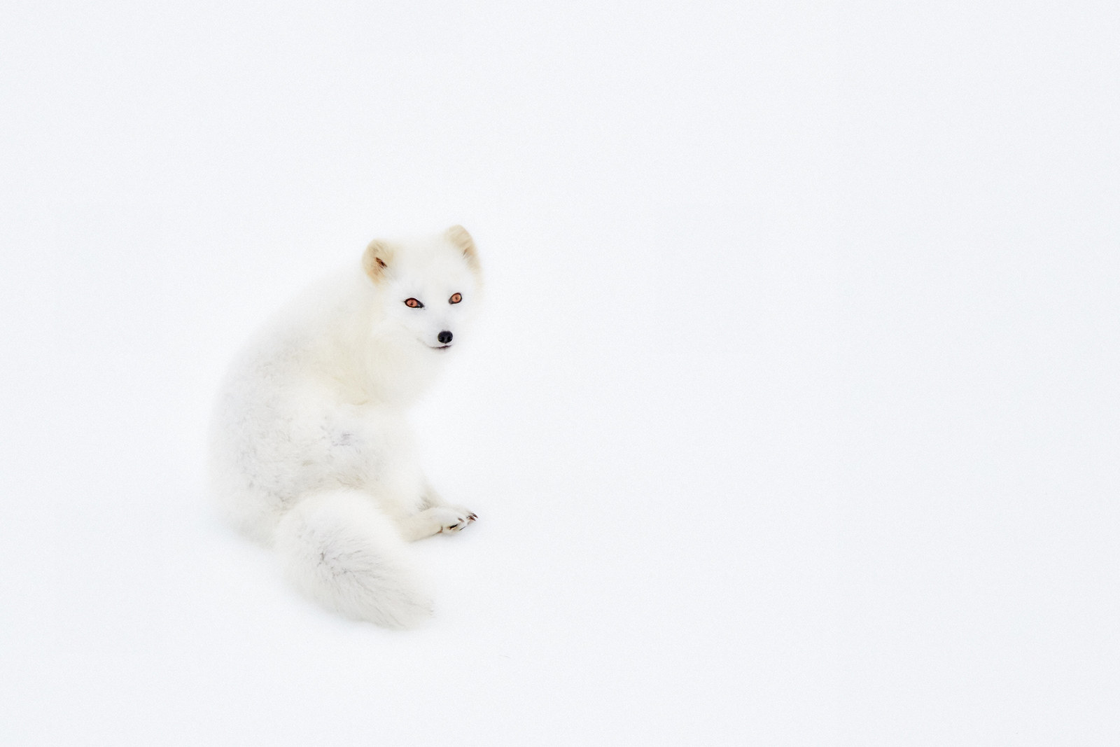 """White Arctic Fox"", by Giovanni Frescura, from Italy"