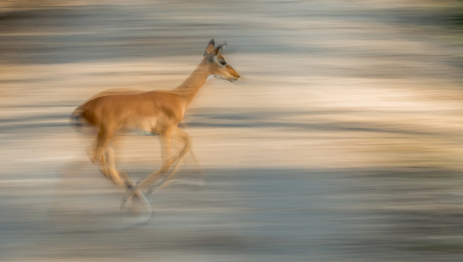 """""""Impala"""", by Dave Stroud, from the UK"""
