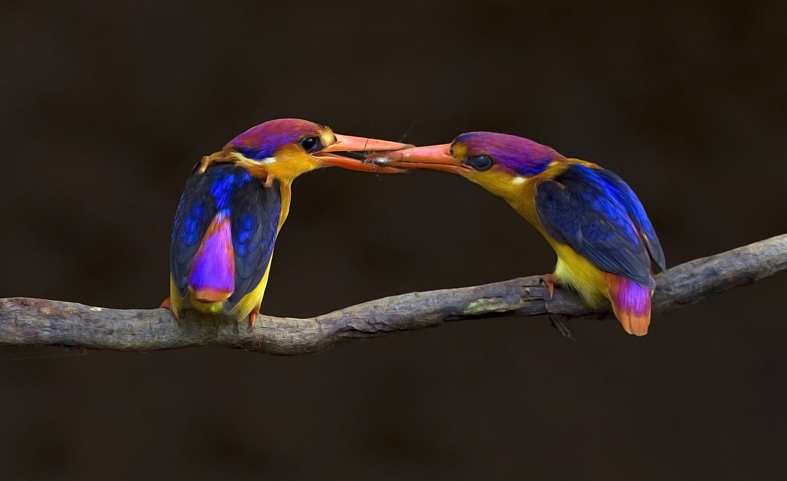 """Oriental Dwarf Kingfishers"", by Aditya Salekar, from India"
