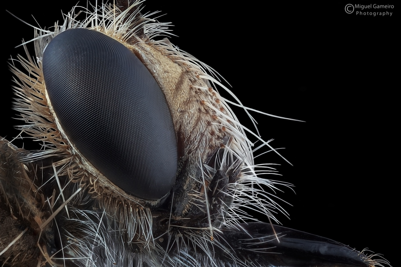 © Miguel Gameiro - Robberfly
