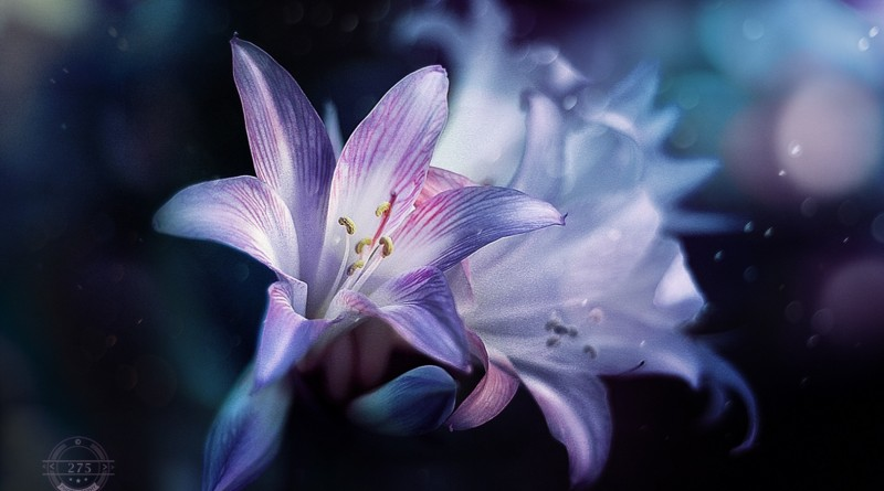 © 275Photography – night lilies