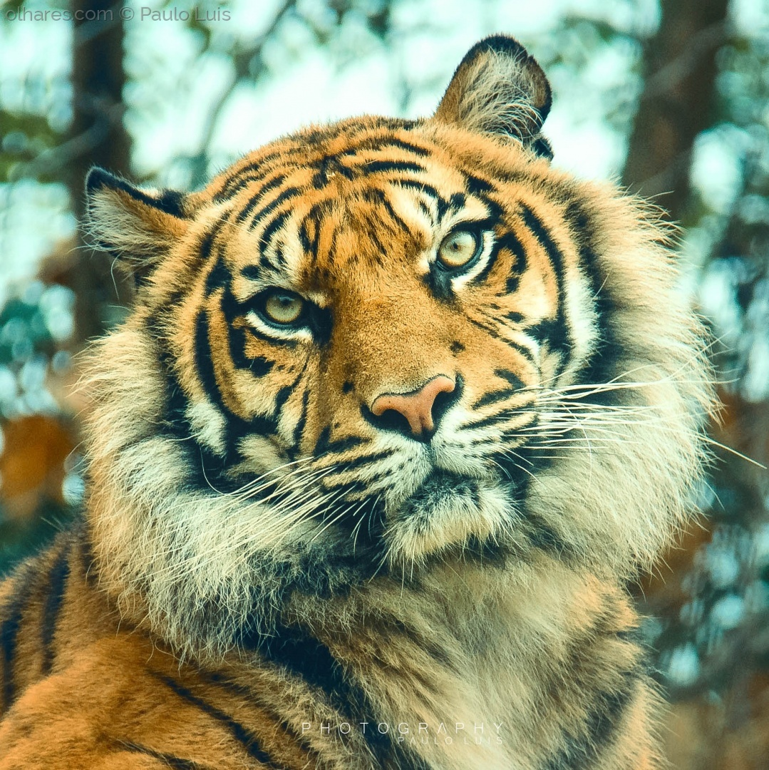 © Paulo Luís  - Eyes of the Tiger