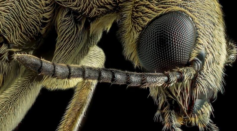© Miguel Gameiro - Coleoptera Meloidae Epicauta
