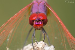 © Miguel Gameiro - Dragonfly