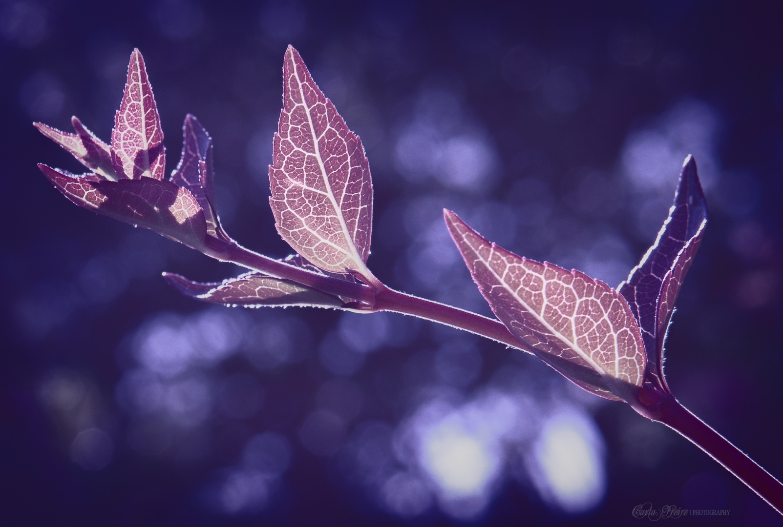 © Carla Freire - Purple Leaves
