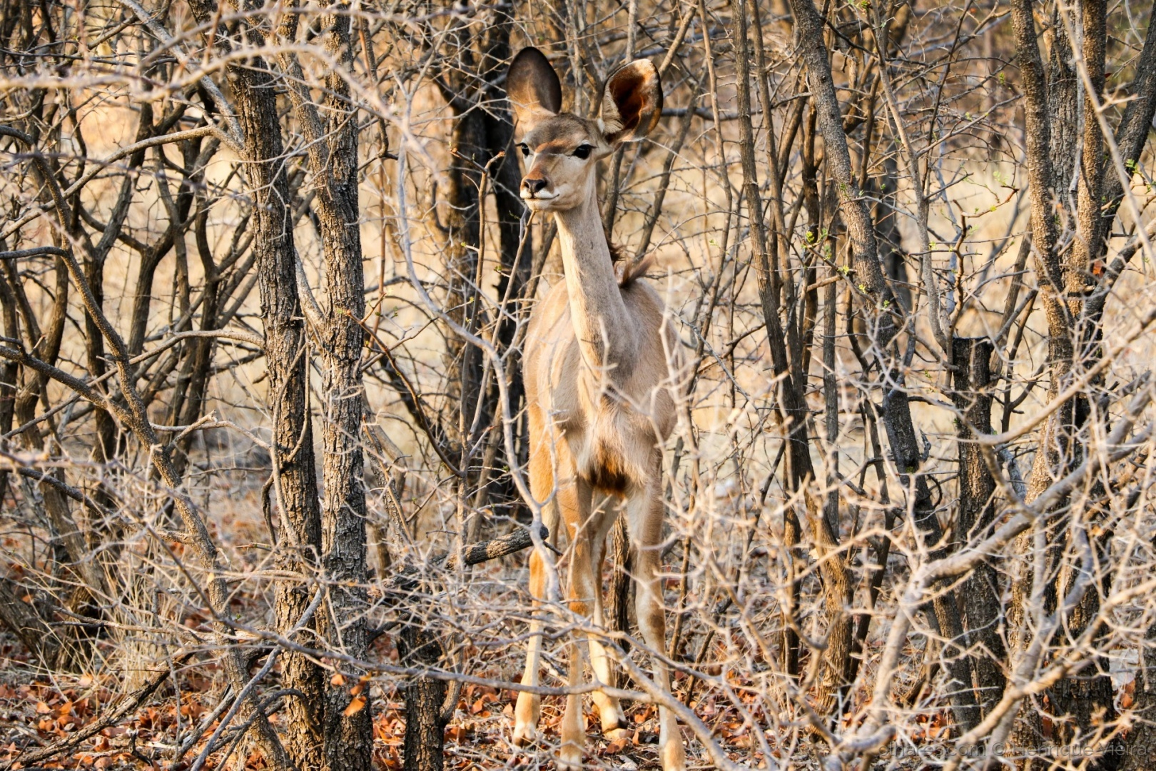 © Henrique Vieira - Springbok Camouflage