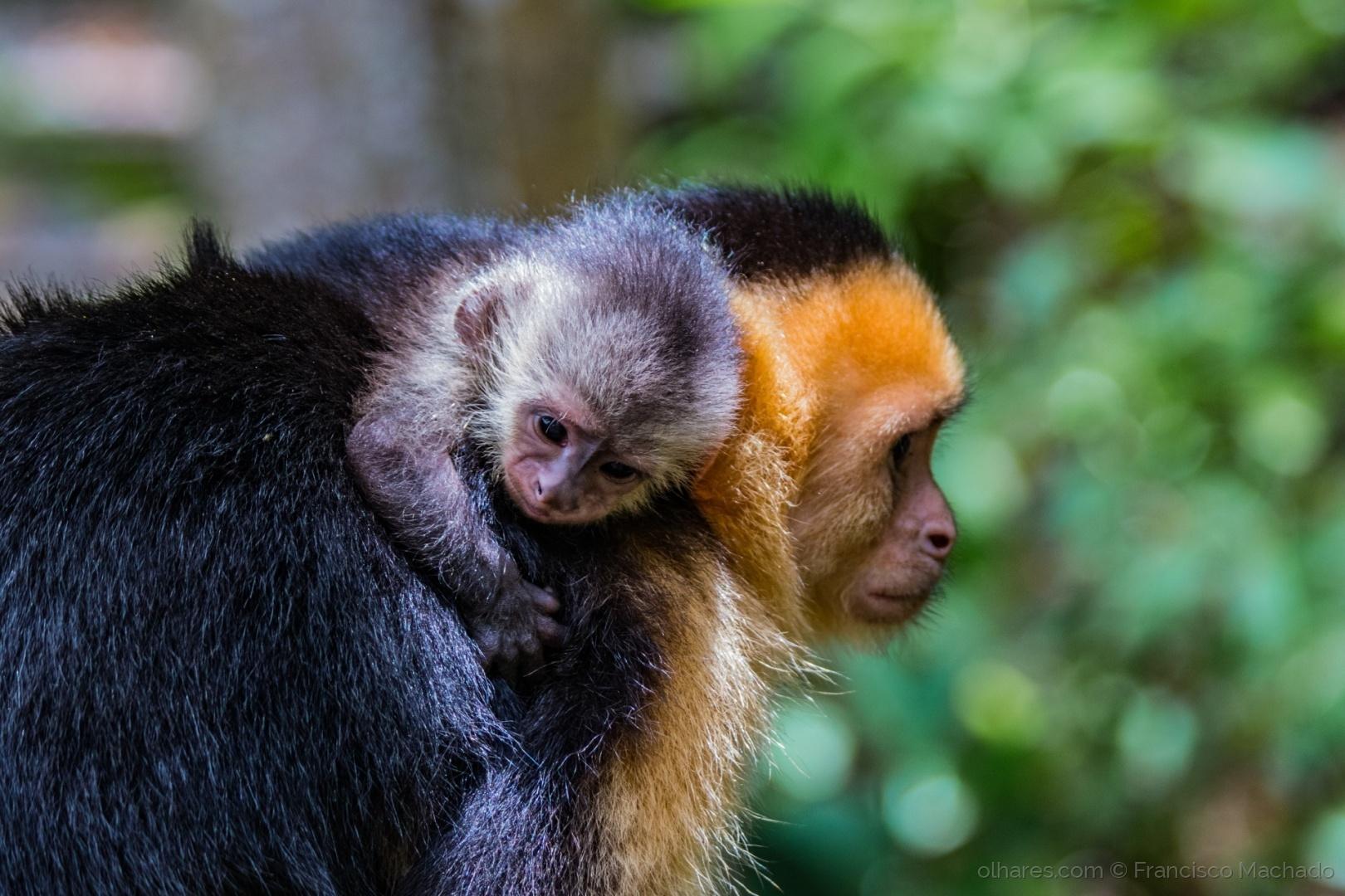 © Francisco Machado - Macaco bebé agarrado à mãe