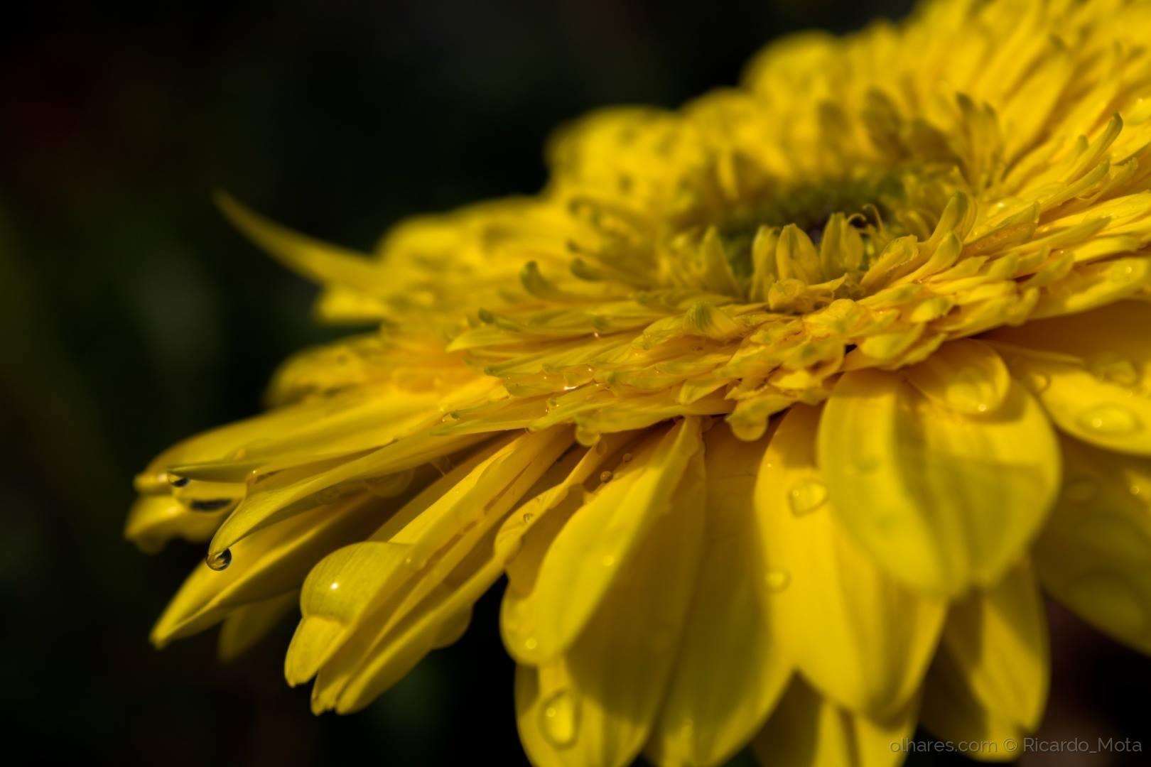 © Ricardo_Mota - gerbera amarela