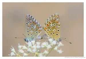 © Raul Gonçalves - A reprodução das borboletas!