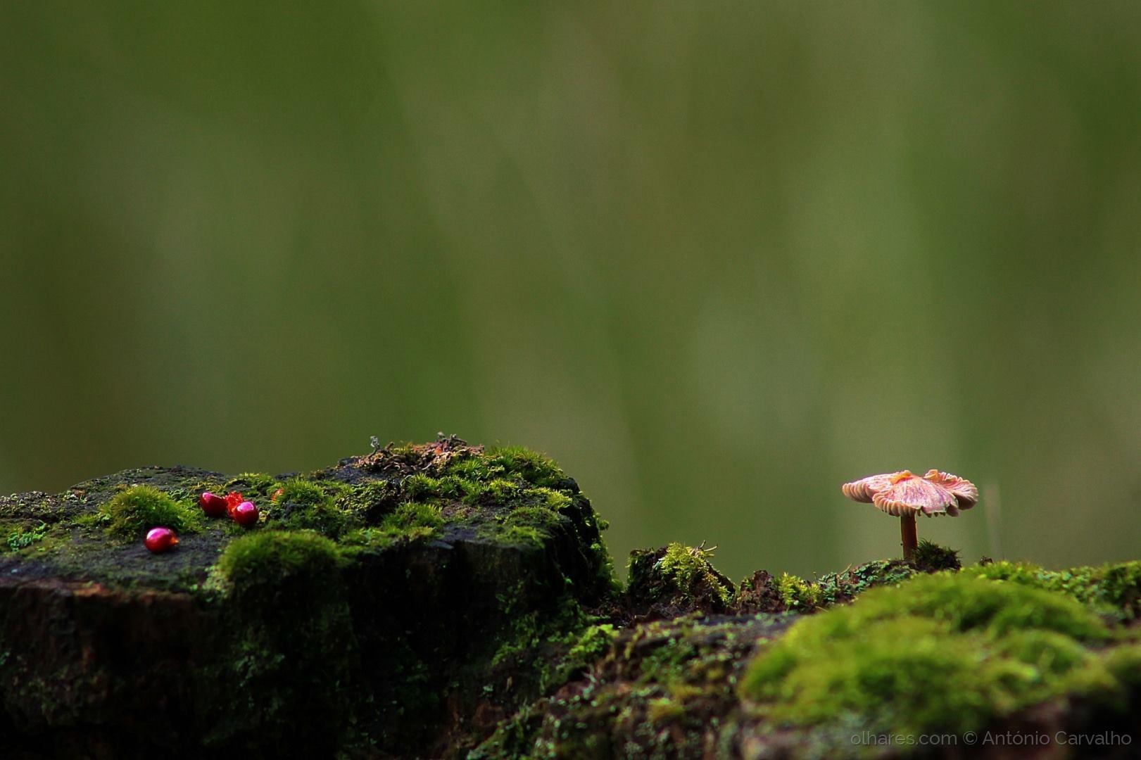 © António Carvalho - Cogumelo com frutos vermelhos