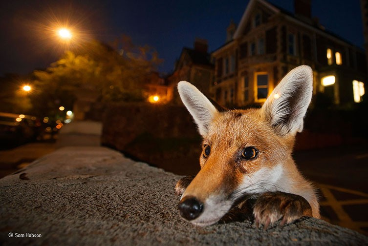 © Nosy neighbour © Sam Hobson - Wildlife Photographer of the Year
