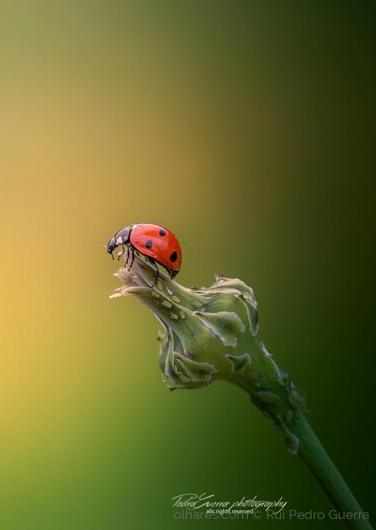 © Rui Pedro Guerra - Ladybug