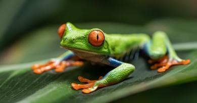 © Filipe Gil - Red-eyed tree frog (Agalychnis callidryas)